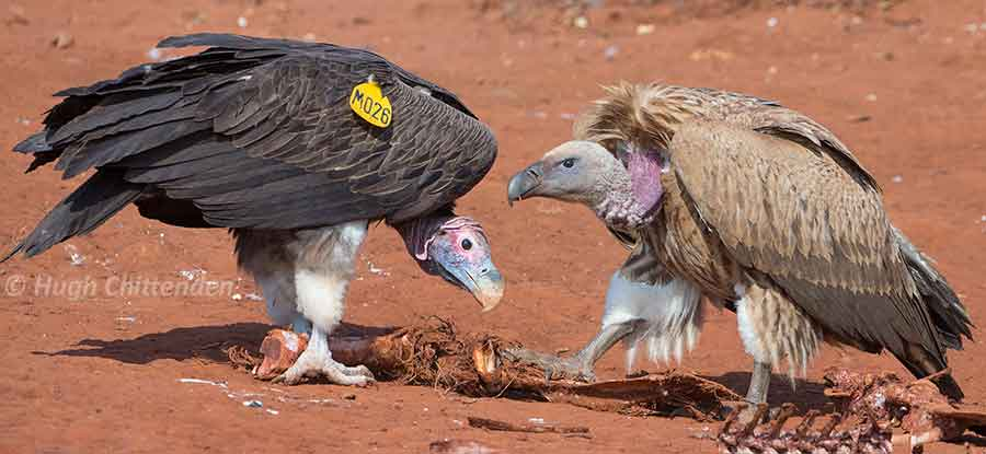 [Image: 19-size-comparison-with-Lappet-faced-May.jpg]